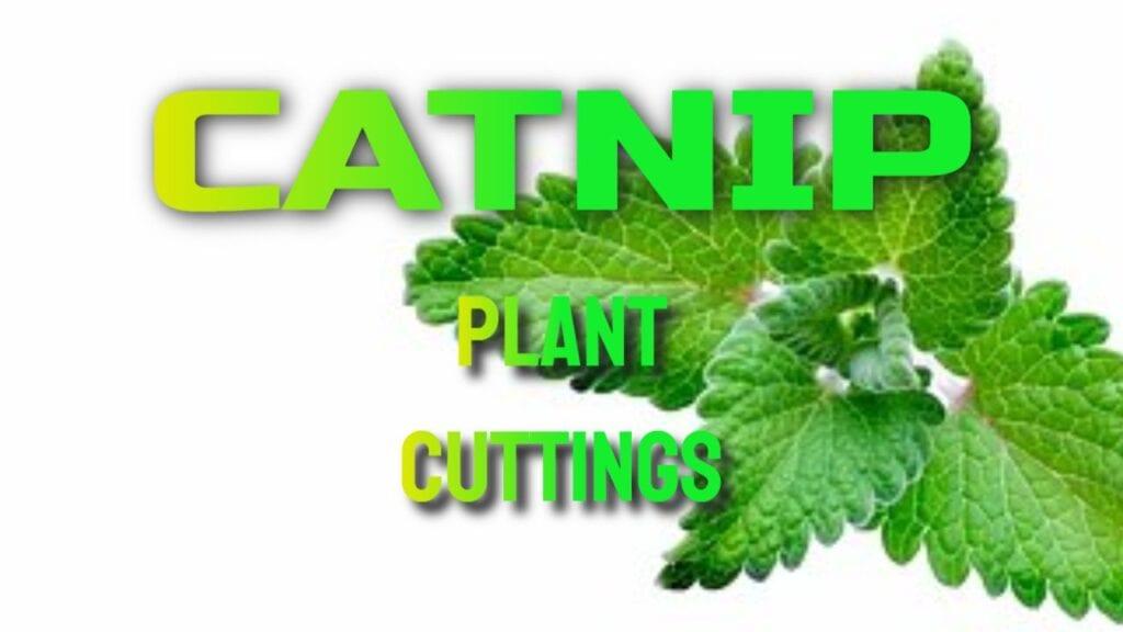 Catnip Plant Cuttings